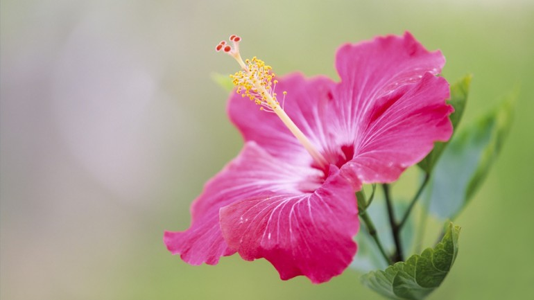 japan-hibiscus_00390079.jpg